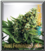 Auto Low Widow Female Mix & Match Seeds